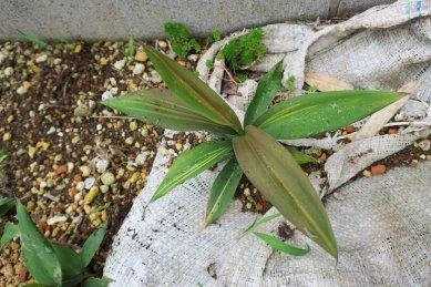 斑が入ってきたドラセナ風植物