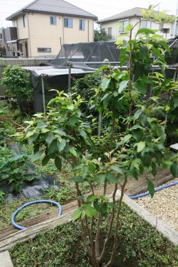 株立ち盆栽のように仕立て中のヒメシャラ