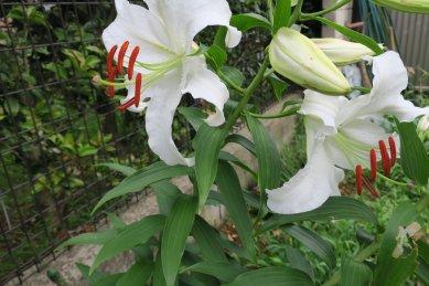 カサブランカの花が咲いた
