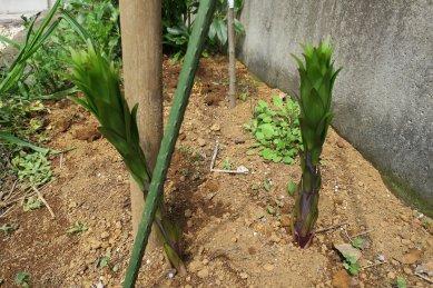 ユリの芽が大きくなった
