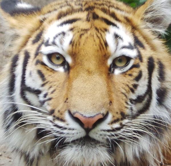 タイガー元画像縮小