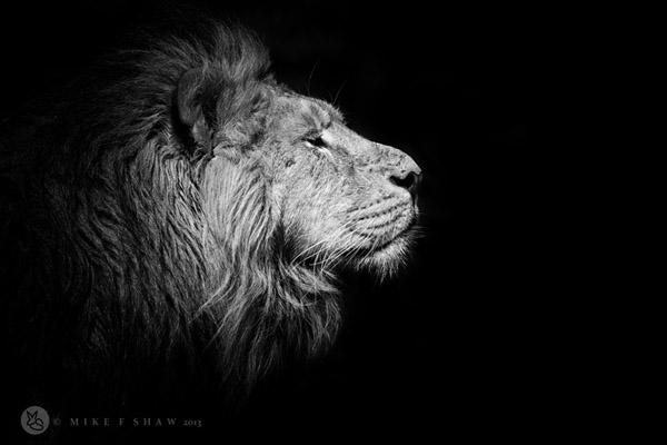 ライオン元画像