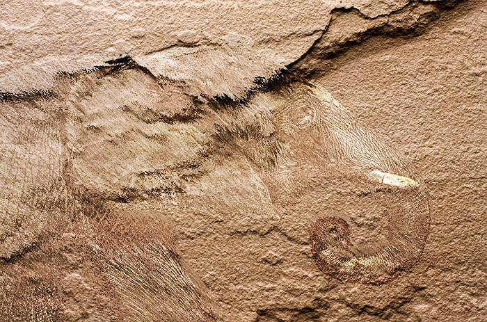 ゾウの化石