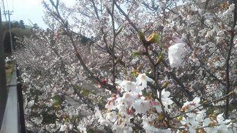 8分咲きb