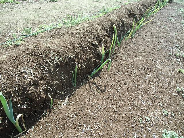 二週前に植えた葱