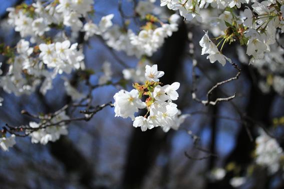 受講生の「桜」作品紹介