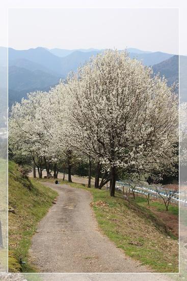 リンゴ並木