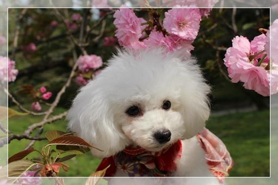 茉莉花と桜の花