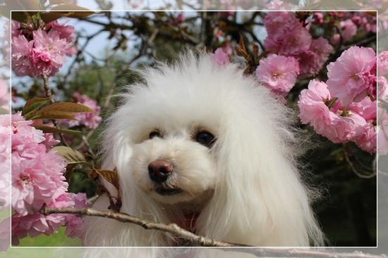 六花と桜の花