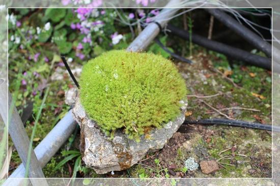 石の上には苔