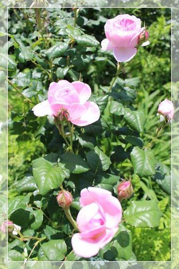 淡いピンクのお花