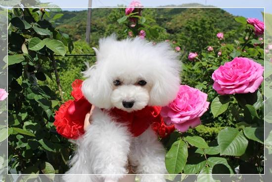 ピンクの薔薇と茉莉花