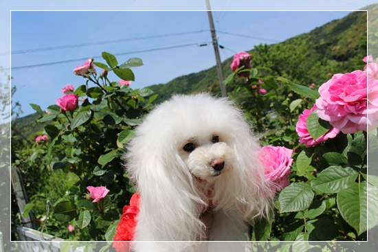 ピンクの薔薇と六花