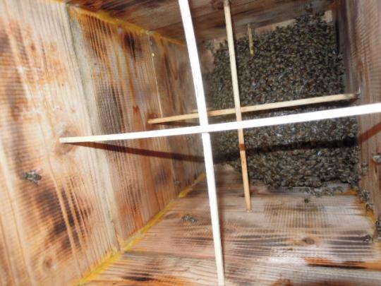 今年の初分蜂群 H280408