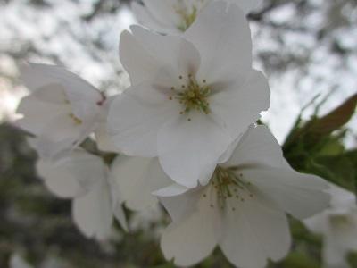 お散歩道の山桜4