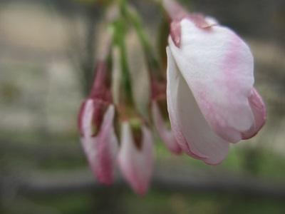 ほんのりピンクの蕾が可愛い~