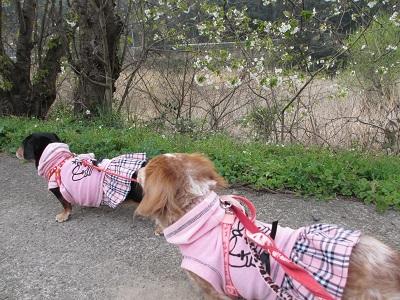 咲き始めの山桜と