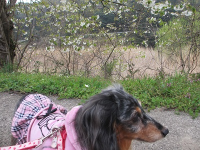 咲き始めの山桜と2