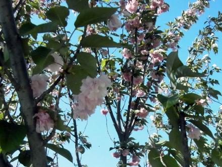 ニ〇三高地1桜