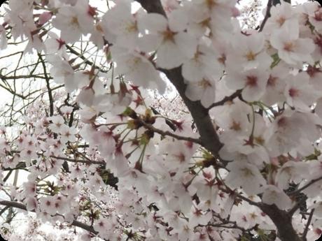 校庭の桜4