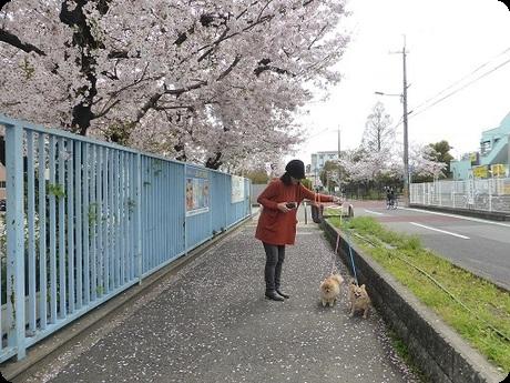 校庭の桜5