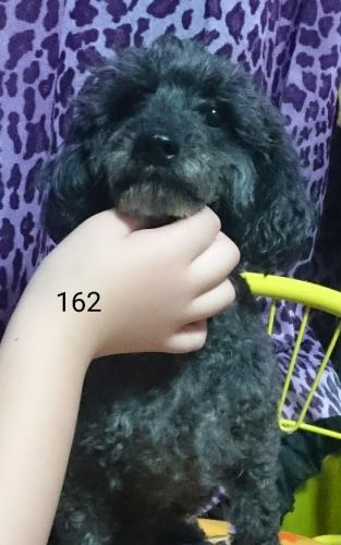 プードル黒 5歳 女の子 162