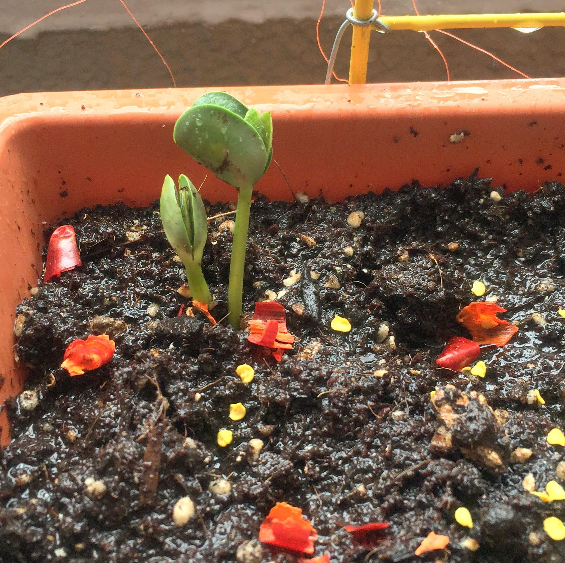枝豆の発芽[2016年6月]