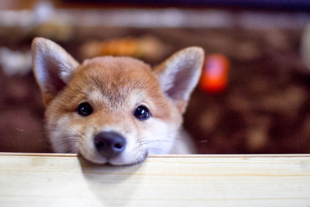shiba-inu-puppies19.jpg