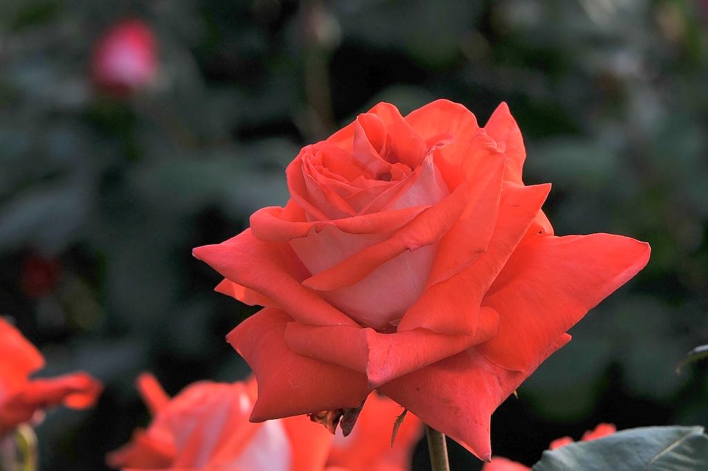 かわら館のバラ
