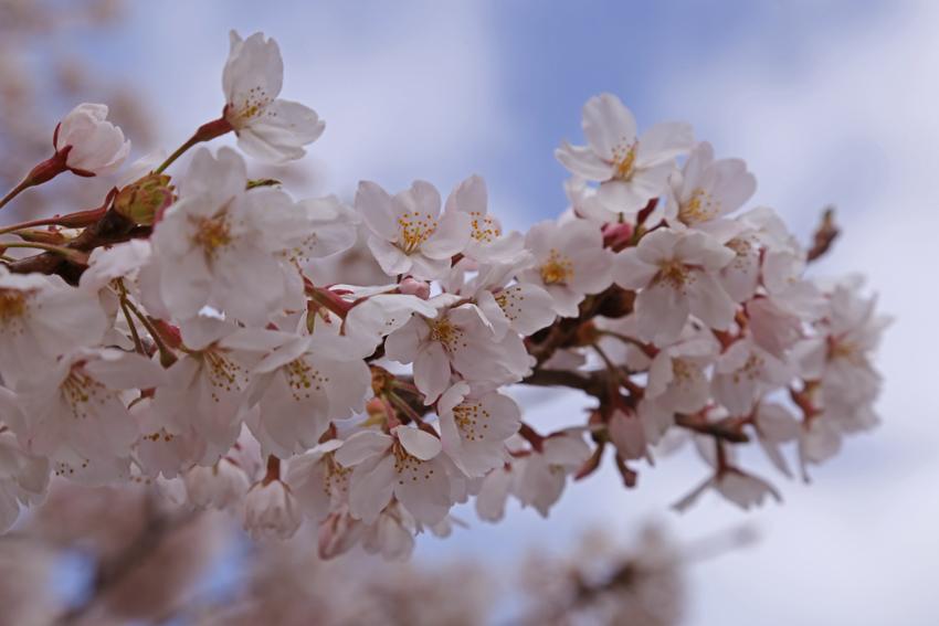 20160414磐井川桜e