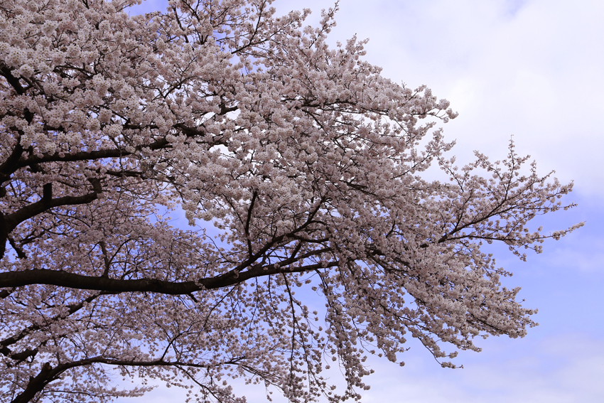 20160414磐井川桜a
