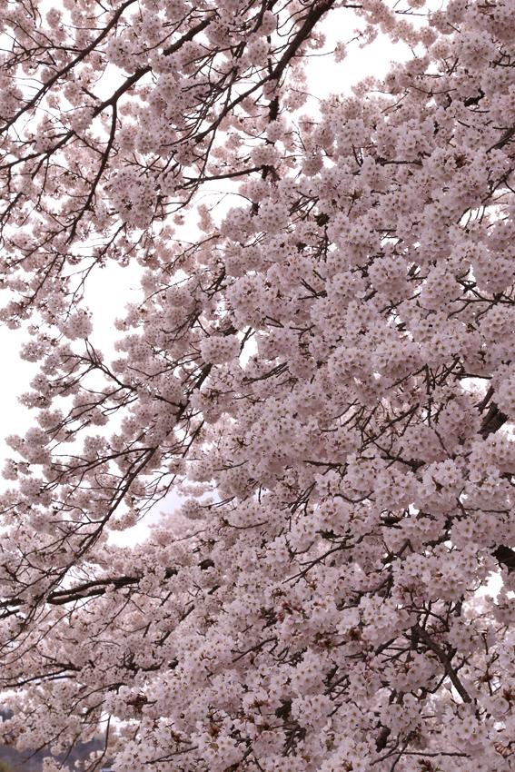 20160414磐井川桜c