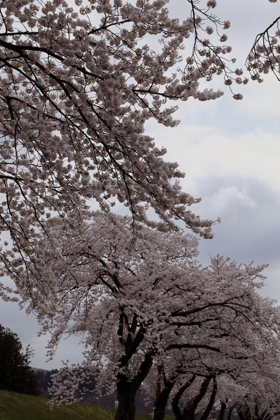20160414磐井川桜b