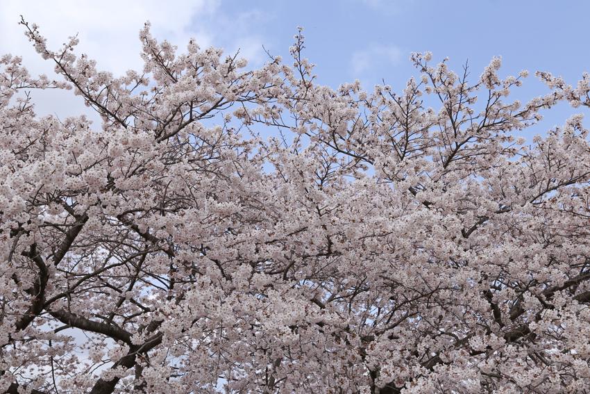 20160414磐井川桜d