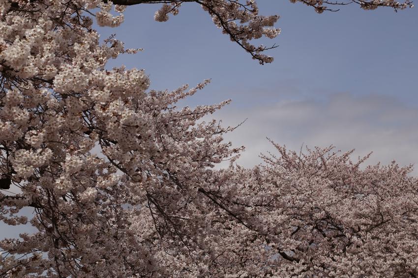 20160414磐井川桜g