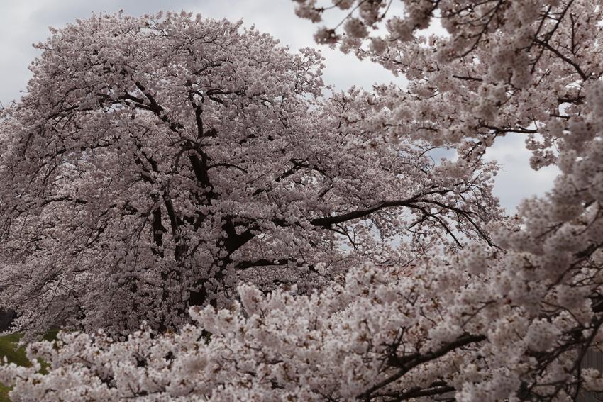 20160414磐井川桜f