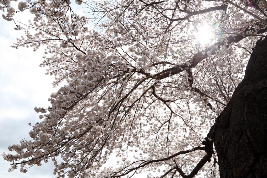 20160414磐井川桜h