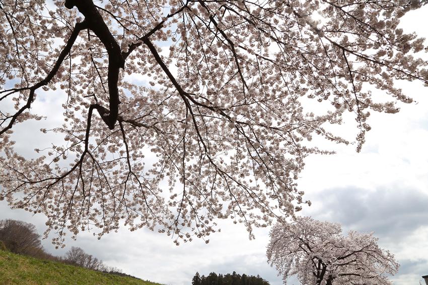 20160414磐井川桜i