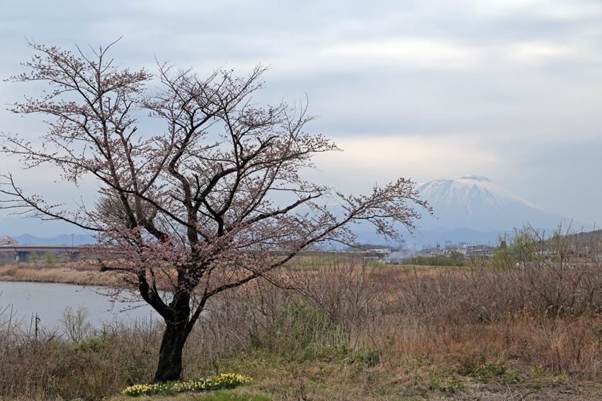 20160416手代森の一本桜と岩手山a