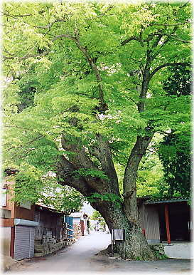 大ケヤキの木 山梨の中古住宅買取り会社アイディーホーム