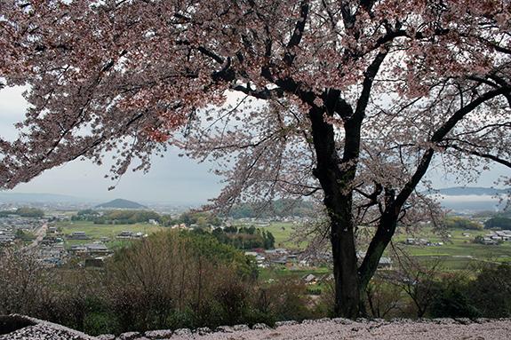 奈良県甘樫丘展望台の桜、古代日本の様子がわかります。