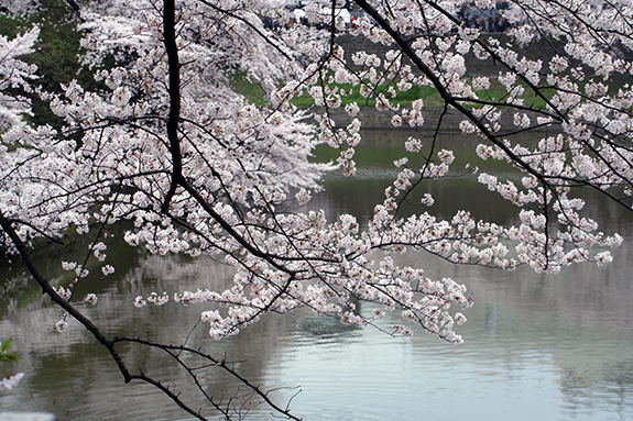 旧江戸城田安門の桜