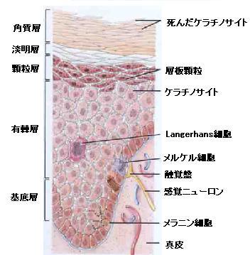 ランゲルハンス細胞