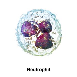 Blausen_0676_Neutrophil.png