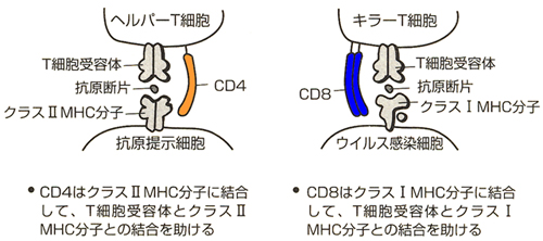 cd-mhc.jpg