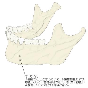 mental-foramen-2.jpg