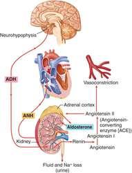 renin-angiotensin-system.jpg