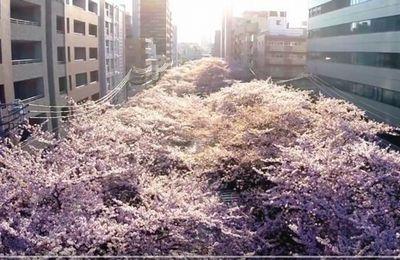 Sakura bird's-eye view