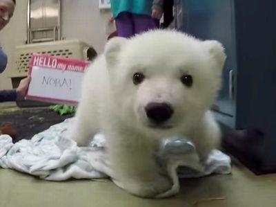 Polar Bear Cub Gets Her Name Meet Nora!