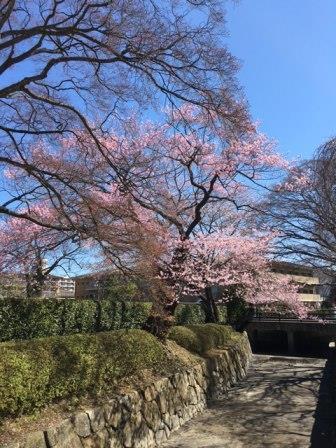 区役所の桜